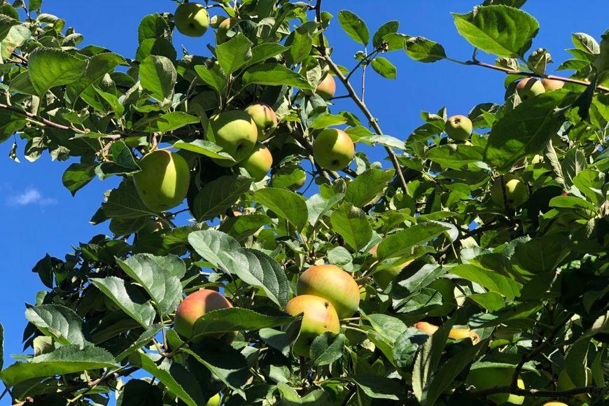 Äpfel am Baum vor blauem Himmel - Copyright: Dörte Rausch