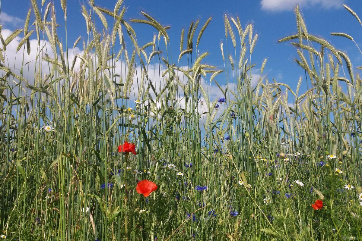 blaue Kornblumen, roter Mohn und weiße Margeriten vor einem Roggenfeld unter blauem Sommer-Himmel